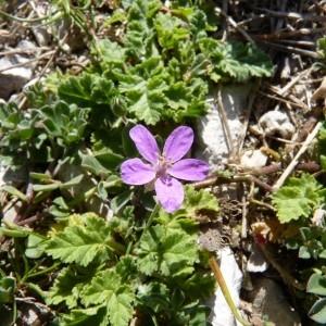 Photographie n°57599 du taxon Erodium chium (L.) Willd. [1794]