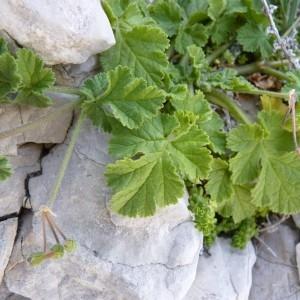 Photographie n°57600 du taxon Erodium chium (L.) Willd. [1794]