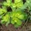 Mathieu MENAND - Euphorbia helioscopia L. [1753]