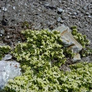 Galium megalospermum All. (Gaillet à grosses graines)