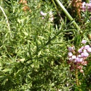Genista hispanica subsp. occidentalis Rouy [1897, Fl. Fr., 4 : 226] (image CeL)