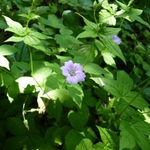 Photographie n°57724 du taxon Geranium nodosum L.