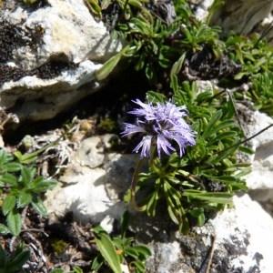 Photographie n°57743 du taxon Globularia cordifolia L.