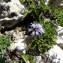 Mathieu MENAND - Globularia cordifolia L.