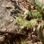 Mathieu MENAND - Hedysarum spinosissimum subsp. capitatum (Rouy) Asch. & Graebn.