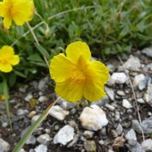 Photographie n°57778 du taxon Helianthemum grandiflorum (Scop.) DC.