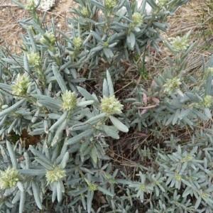 Photographie n°57784 du taxon Helianthemum syriacum (Jacq.) Dum.Cours. [1802]