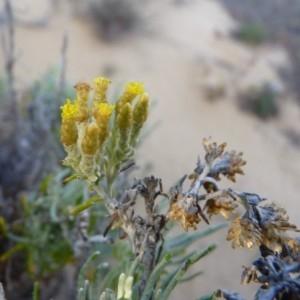 Helichrysum italicum subsp. serotinum (DC.) P.Fourn. [1939] (Immortelle tardive)