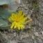 Mathieu MENAND - Hieracium lanatum Vill.