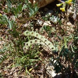 Photographie n°57813 du taxon Hippocrepis ciliata Willd.
