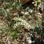 Mathieu MENAND - Hippocrepis ciliata Willd.