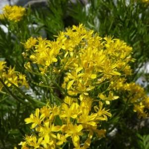 Photographie n°57830 du taxon Hugueninia tanacetifolia subsp. tanacetifolia