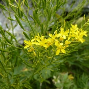 - Hugueninia tanacetifolia subsp. tanacetifolia