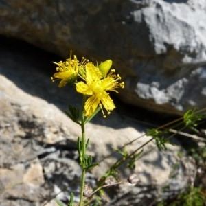 Hypericum hyssopifolium Chaix (Millepertuis à feuilles d'hysope)