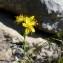 Mathieu MENAND - Hypericum hyssopifolium Chaix [1785]