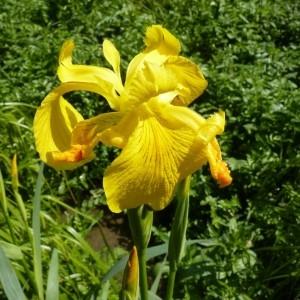 Photographie n°57886 du taxon Iris pseudacorus L. [1753]