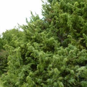 Photographie n°57911 du taxon Juniperus communis L. [1753]