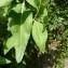Mathieu MENAND - Lepidium latifolium L.