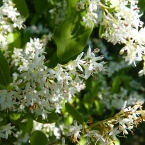 Ligustrum ovalifolium Hassk. (Troène à feuilles ovales)