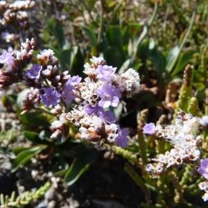 Limonium auriculiursifolium (Pourr.) Druce (Limonium à feuilles de lychnis)