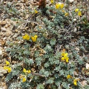 Photographie n°58037 du taxon Lotus creticus L.
