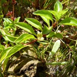 Photographie n°58046 du taxon Ludwigia palustris (L.) Elliott [1817]