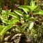 Mathieu MENAND - Ludwigia palustris (L.) Elliott [1817]