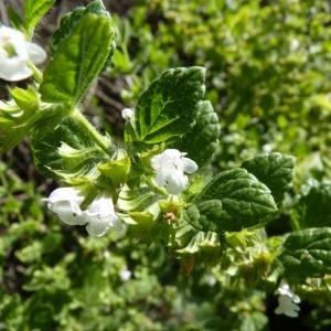 Photographie n°58081 du taxon Melissa officinalis L.