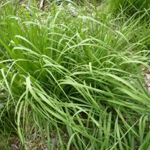Molinia caerulea subsp. arundinacea (Schrank) K.Richt. (Molinie élevée)