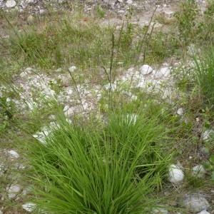 - Molinia caerulea subsp. caerulea