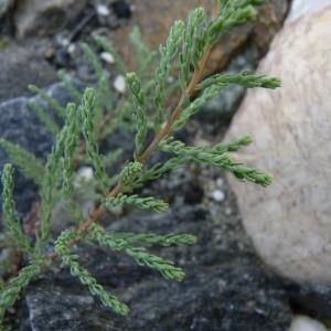 Photographie n°58113 du taxon Myricaria germanica (L.) Desv. [1824]