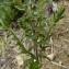 Mathieu MENAND - Odontites vernus subsp. vernus
