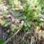 Mathieu MENAND - Parentucellia latifolia (L.) Caruel