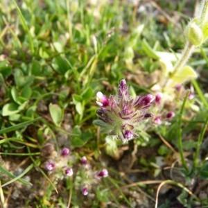 Photographie n°58232 du taxon Parentucellia latifolia (L.) Caruel