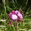 Mathieu MENAND - Pedicularis cenisia Gaudin
