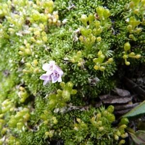 Photographie n°58245 du taxon Petrocallis pyrenaica (L.) R.Br. [1812]