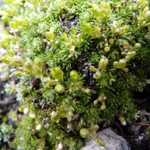 Photographie n°58246 du taxon Petrocallis pyrenaica (L.) R.Br. [1812]