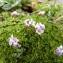 Mathieu MENAND - Petrocallis pyrenaica (L.) R.Br. [1812]