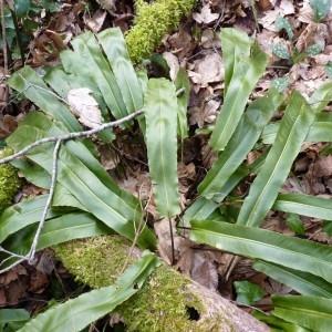 Photographie n°58266 du taxon Phyllitis scolopendrium (L.) Newman