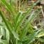 Mathieu MENAND - Phyteuma betonicifolium Vill. [1785]