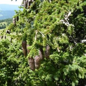 Photographie n°58281 du taxon Picea abies (L.) H.Karst.