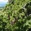 Mathieu MENAND - Picea abies (L.) H.Karst.