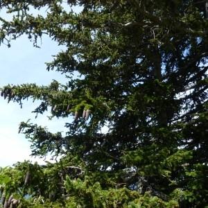 Photographie n°58282 du taxon Picea abies (L.) H.Karst.