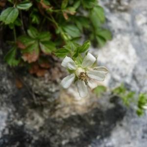 Potentilla caulescens L. (Potentille à tiges courtes)