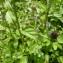 Mathieu MENAND - Prunella vulgaris L.