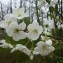 Mathieu MENAND - Prunus avium (L.) L.