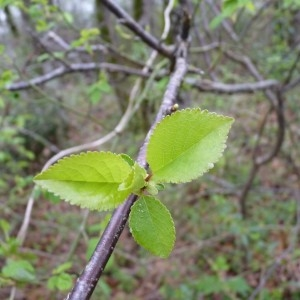 Photographie n°58375 du taxon Prunus avium (L.) L. [1755]