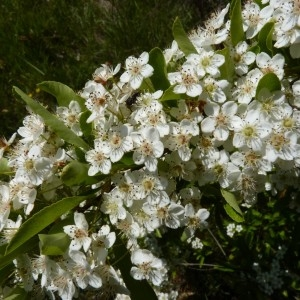 Pyracantha coccinea M.Roem. [1847] (Buisson ardent)
