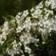 Mathieu MENAND - Pyracantha pauciflora (Poir.) M.Roem. [1847]