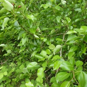 Photographie n°58403 du taxon Pyrus pyraster subsp. pyraster